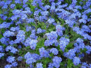 The official flower of the U.S. National Grandparents Day is the forget-me-not