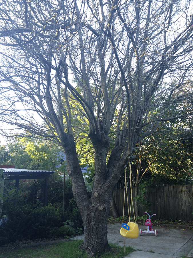 My oak tree, see it has not got leaves on it. All sticks