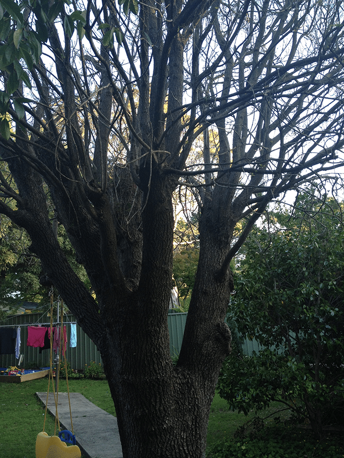 My oak tree, it does not look well. I need advice on how to help it