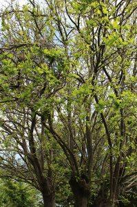 My oak tree now looks happier with leaves on it