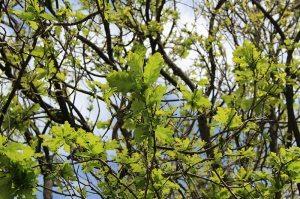 Finally my oak tree has leaves