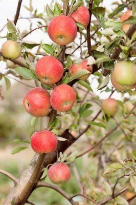 Apples ready to be picked. Image courtesy of marin / FreeDigitalPhotos.net