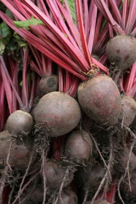 Beetroot that has just been picked from the ground. Yum I love beetroot. Image courtesy of Simon Howden / FreeDigitalPhotos.net