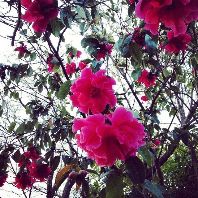 Pink Flowers in our backyard