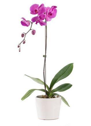 Purple Phalaenopsis Orchid In Contemporary White Ceramic Pot