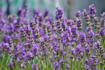 The Power Of Lavender