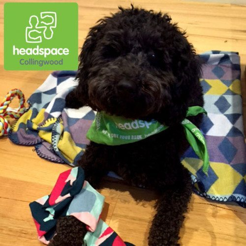 Birdie the Labradoodle. Such a cutie and ready to help the young people at headspace Collingwood.