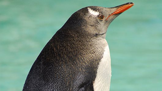 Genie is a gentoo penguin. She is only 14 weeks old. See Genie at the Penguin Expedition at SEA LIFE Sydney Aquarium.