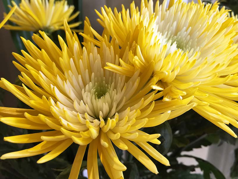 So pretty and textural, the bright yellow Chrysanthemum Disbud (Spider).