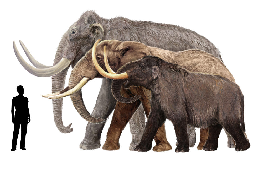 This image of a human next to mammoths gives you an idea of how big they were. I must say I wouldn't want to be next to one, it would be rather scary.