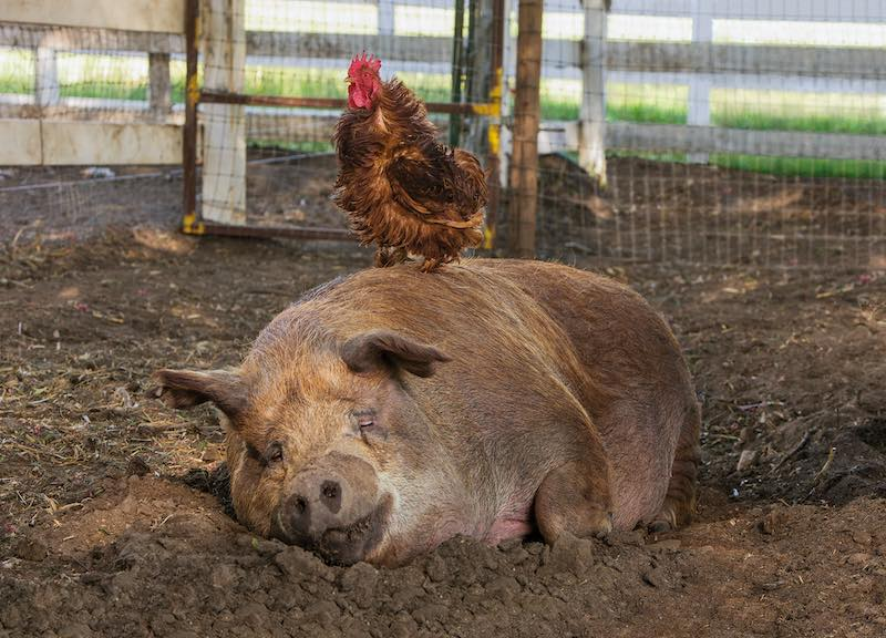 Greasy the Rooster and Emma the Pig